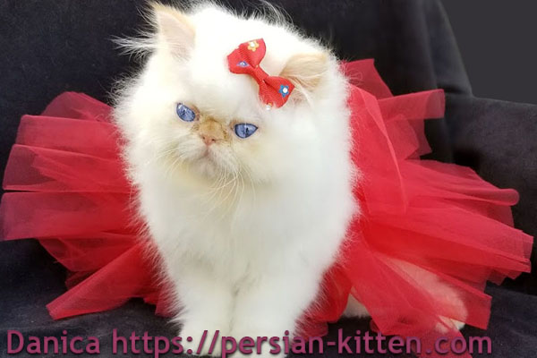 persian kittens images