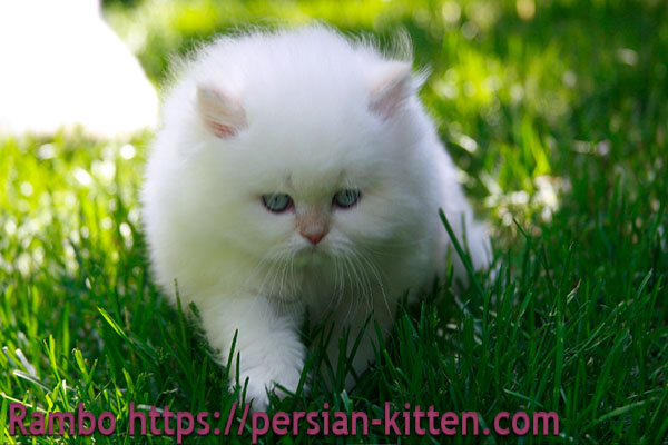 images persian kittens