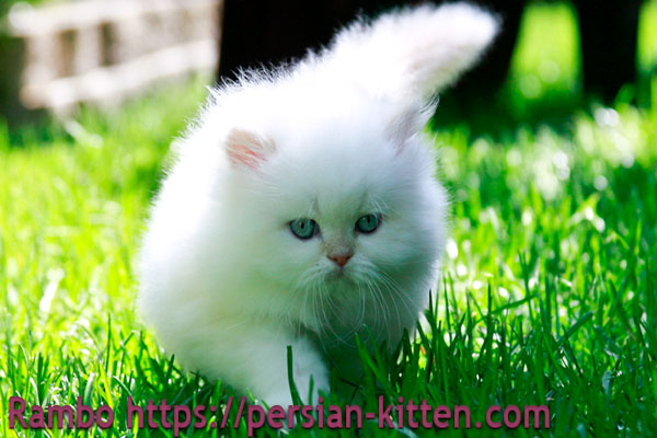 persian kittens pictures